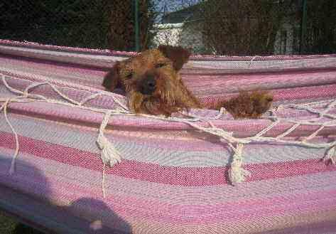 Irish Terrier Inka
