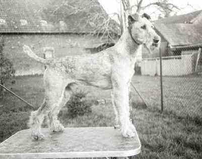 Irish Terrier Seanin