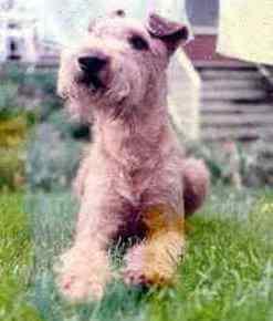 Wie alles begann: Irish Terrier Charlie