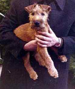 Wie alles begann: Irish Terrier Charlie 14 Wochen alt