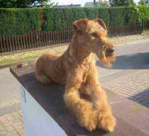 Irish Terrier Zucht Inka auf Mauer