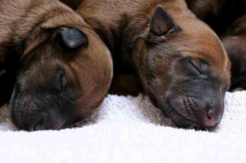 Irish Terrier Welpen 2 Hündinnen