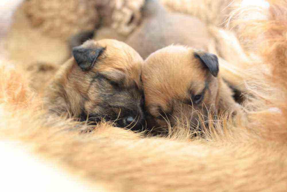 Irish Terrier Welpen bei Mama