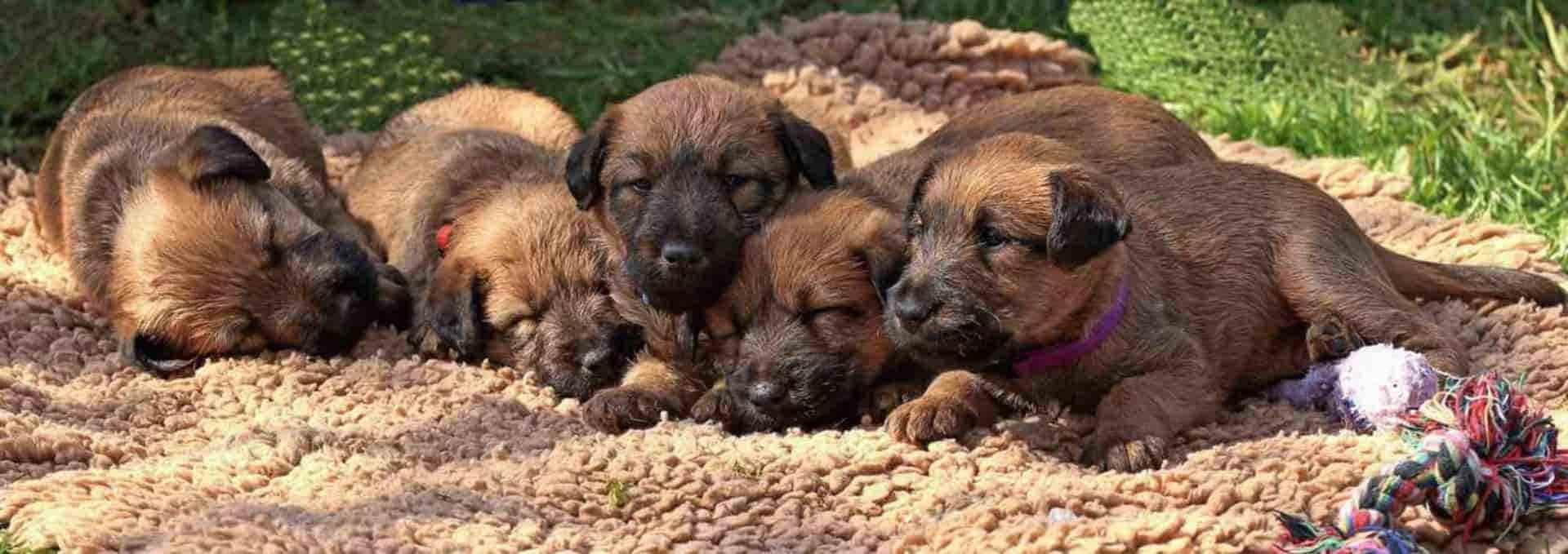 Irish Terrier vom Hürtgenwald