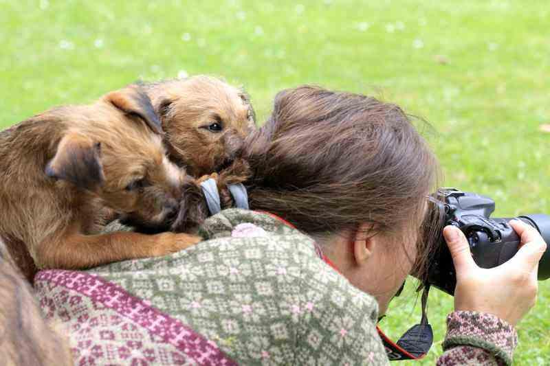 R-Wurf Irish Terrier Welpen helfen beim Fotografieren