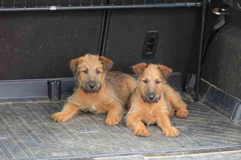 R-Wurf Irish Terrier Welpen Reisen im Kofferaum