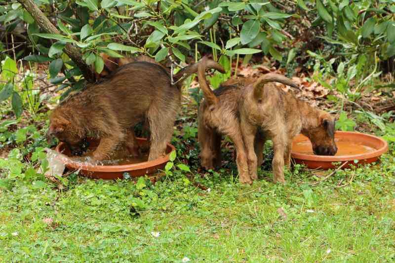 R-Wurf Irish Terrier Welpen Ausflug
