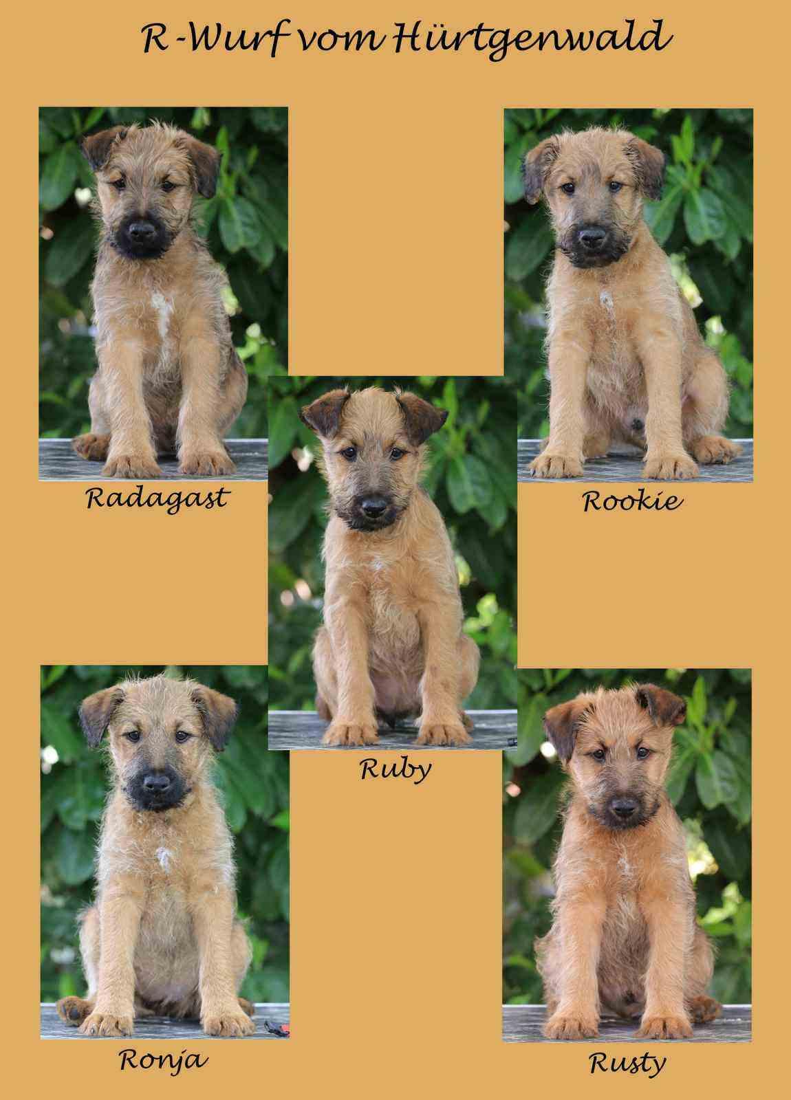 R-Wurf Irish Terrier Welpen Collage 10 Wochen
