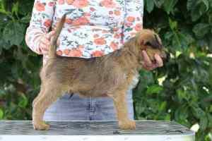 Irish Terrier Welpen Radagast Stand 8 Wochen