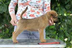 Irish Terrier Welpen Ronja Stand 8 Wochen