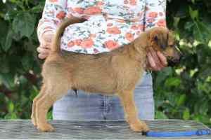 Irish Terrier Welpen Rookie Stand 8 Wochen
