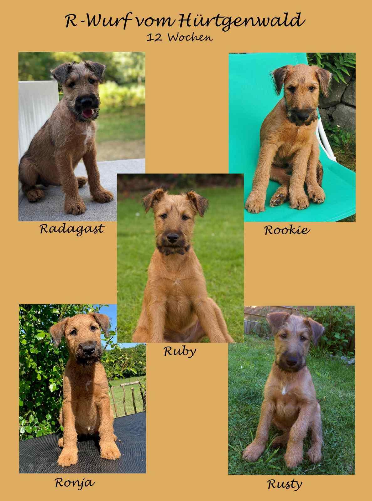 R-Wurf Irish Terrier Welpen 12 Wochen