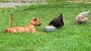 Irish Terrier Zucht Ronja