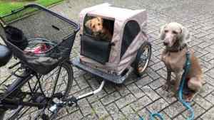 Irish Terrier Zucht Ruby