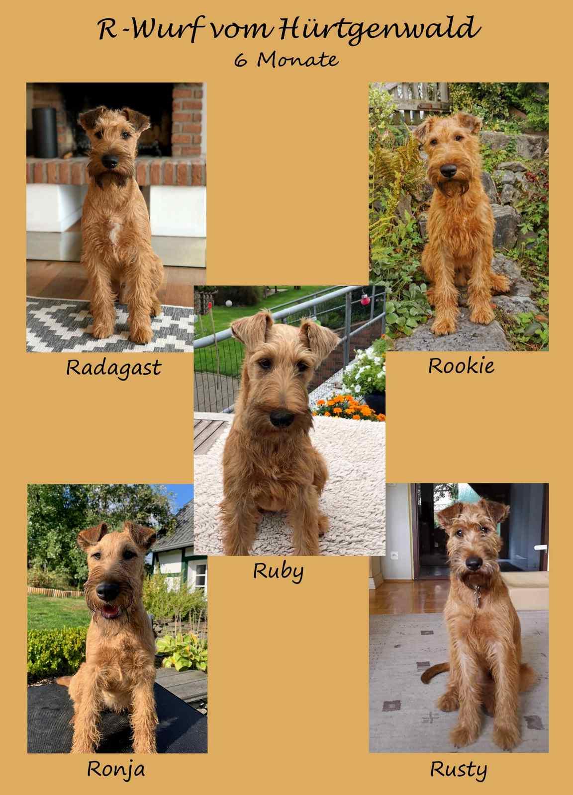 Irish Terrier Welpen R-Wurf vom Hürtgenwald