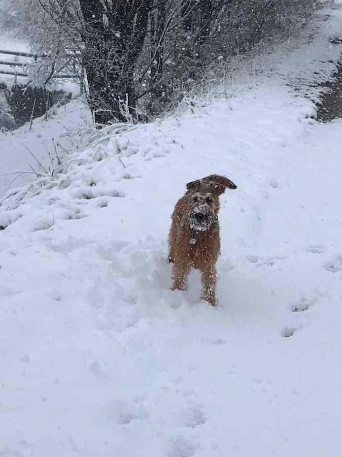 Irish Terrier Ruby im Schnee