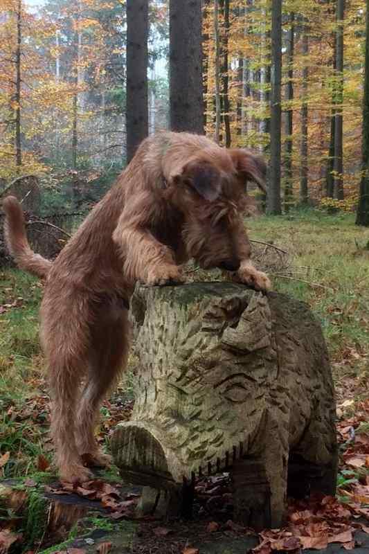 Rusty und das Wildschwein