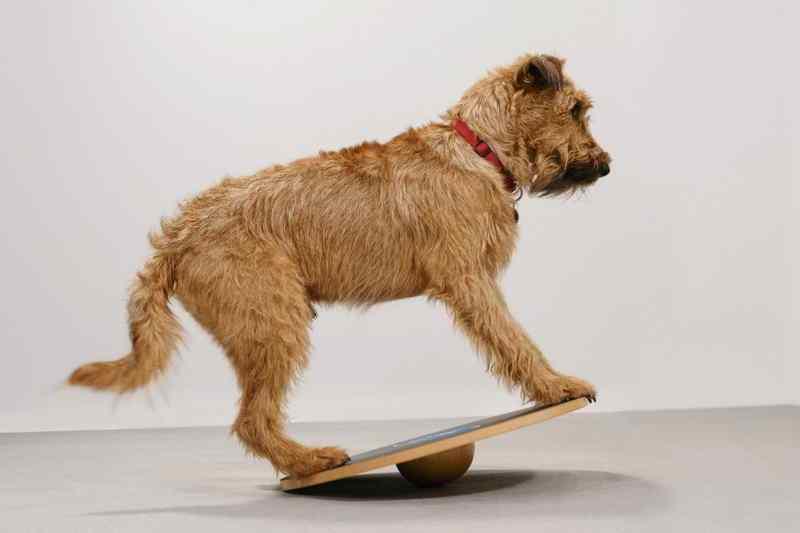 Irish Terrier Radagast Therapiehund Wippe