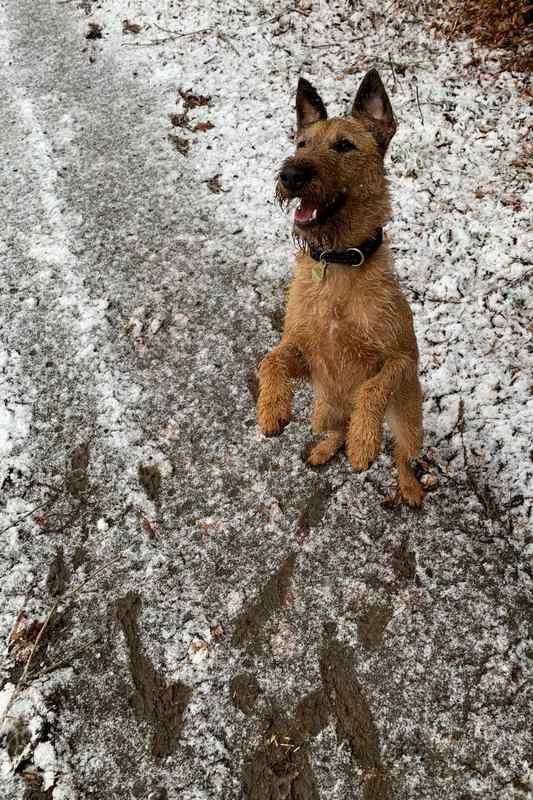 Irish Terrier Ronja