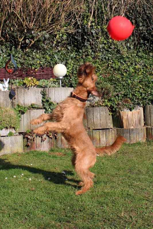 Irish Terrier Rusty