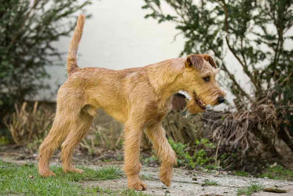 Irish Terrier Sean