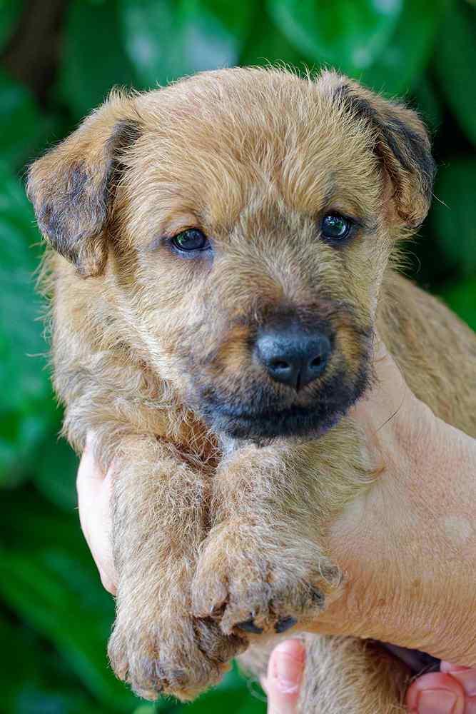 Irish Terrier Welpe Kopffoto