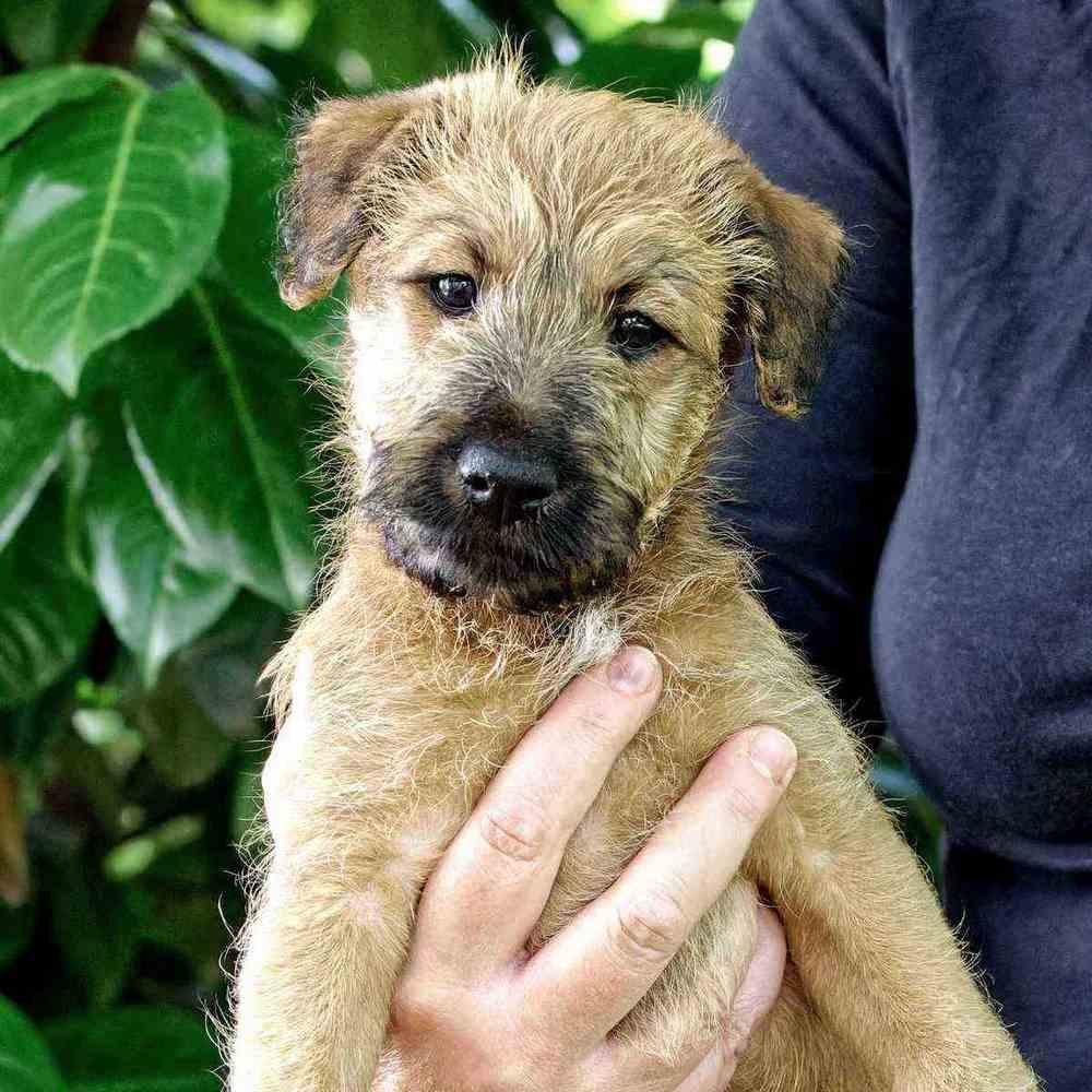 Irish Terrier Welpen vom Huertgenwald
