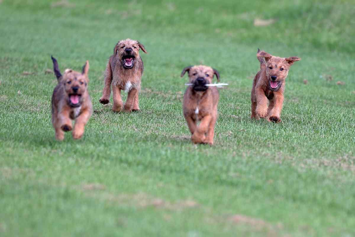 Irish Terrier Welpen vom Hürtgenwald