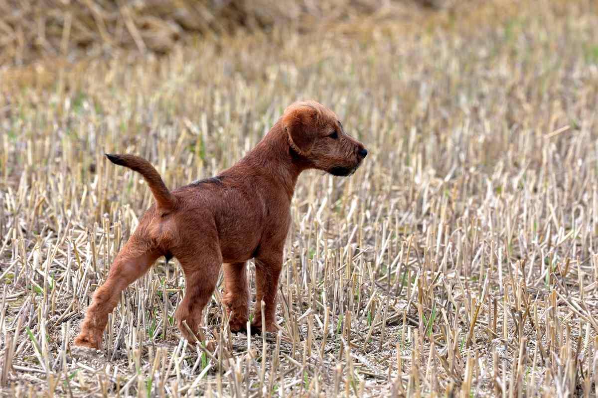Irish Terrier Welpe Sam