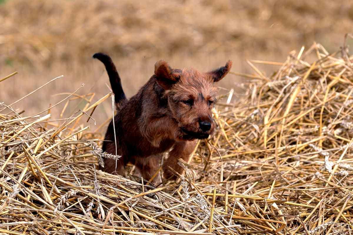 Irish Terrier Welpe Seana
