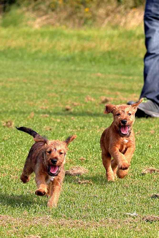 Irish Terrier Welpen Sam Seana