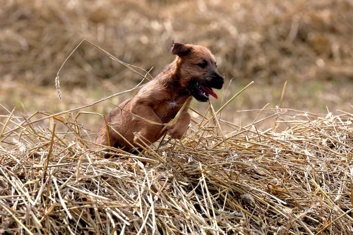Irish Terrier Welpe Sienna