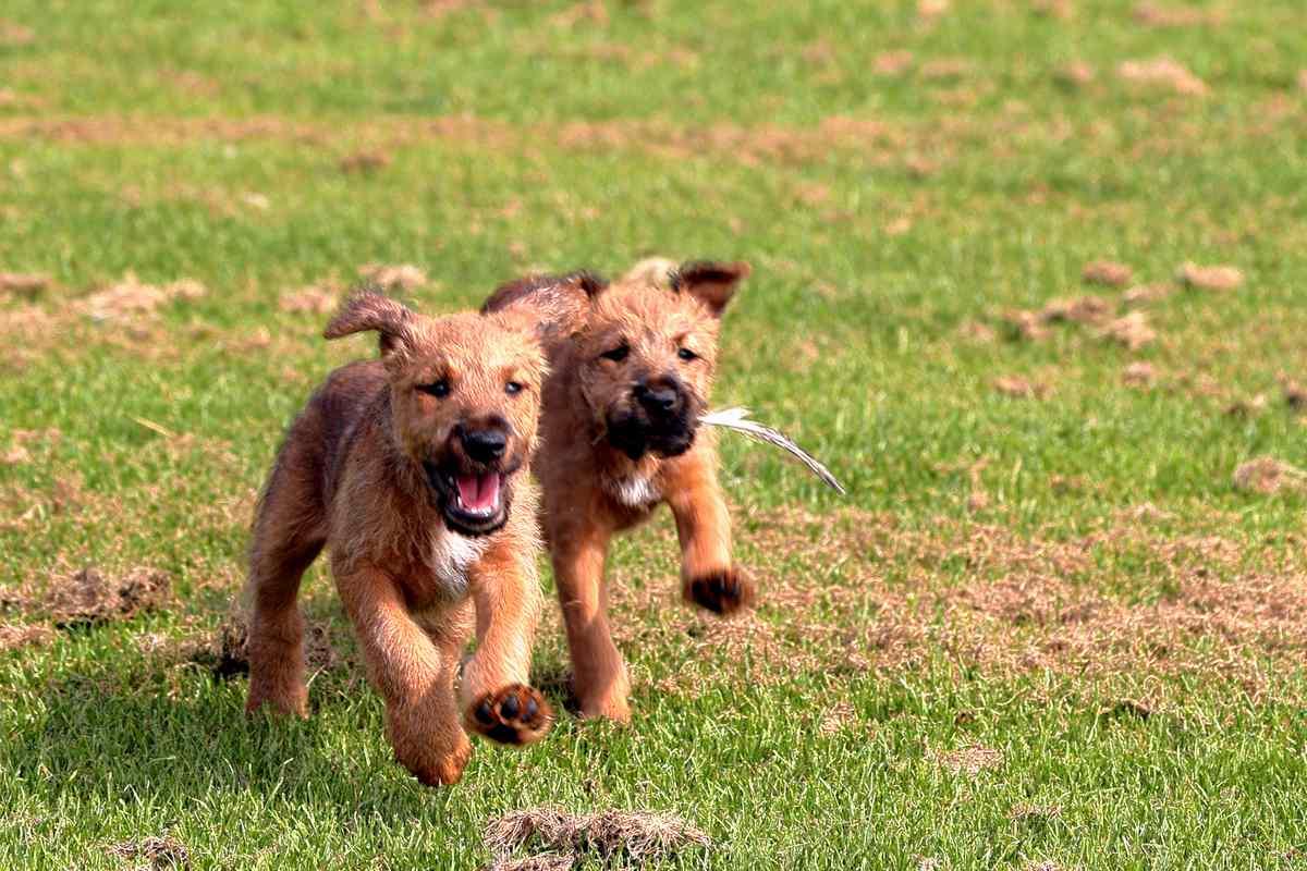 Irish Terrier Welpen Simba Sienna